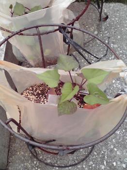 サツマイモの苗